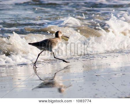 Running Sandpiper (Scolopacidae Family)