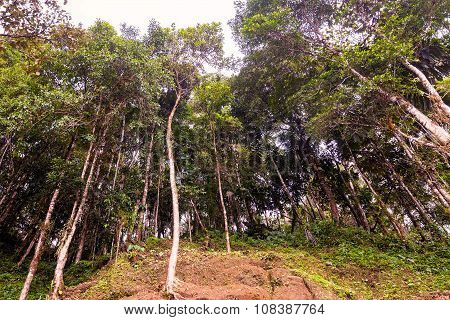 Eucalyptus Forest In Amazonian Jungle
