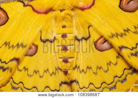 Texture Of Yellow  Sikkim Silk Moth