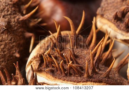 Horse Chestnuts Macro