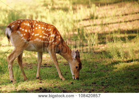 Sika deer, also known as Japanese deer on a glade