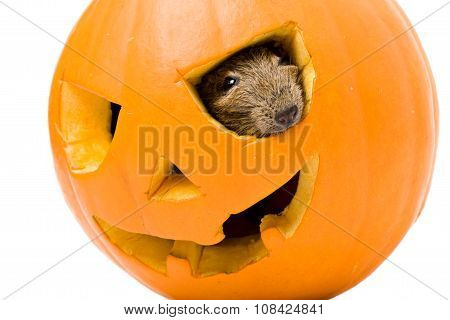 Halloween Pumpkin With Rat Inside Isolated On White