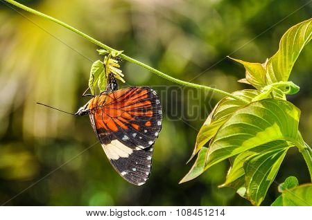 Colorful Butterfly In The Amazon Rainforest, Manaos, Brazil