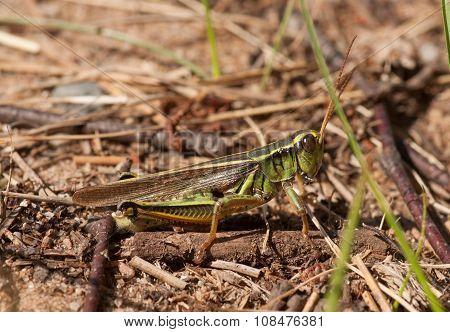 Two-striped Grasshopper