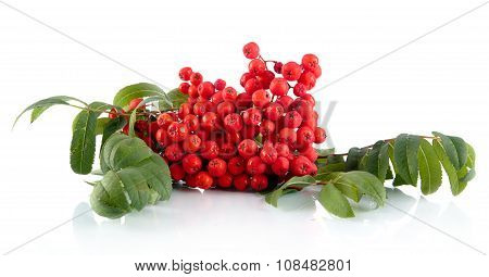 Mountain Ash With Leaves Isolated On White Background