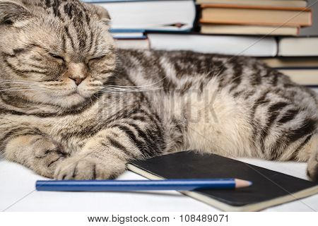 Funny Scottish Fold Cat Doing Homework, She Was Tired And Fell Asleep Among The Study Books