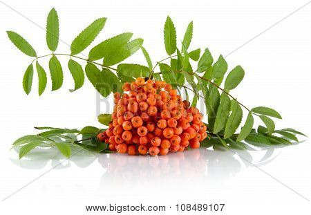 Orange Mountain Ash With Leaves Isolated On White Background