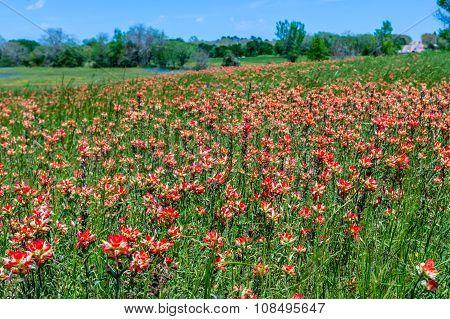 Bright Orange Indian Paintbrush (or Prairie Fire) Wildflowers in a Texas Field