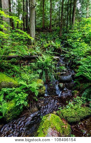Primeval Rain Forest with Mystical Cedar Trees