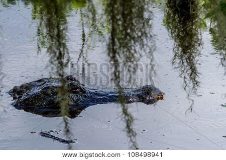 A Wild Alligator (Alligator mississippiensis) Behind Spanish Moss in Texas.
