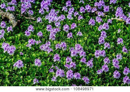 Flowering Water Hyacinth (Eichhornia crassipes)