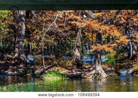 Brilliant Fall Leaves on Bald Cypress Trees in Texas