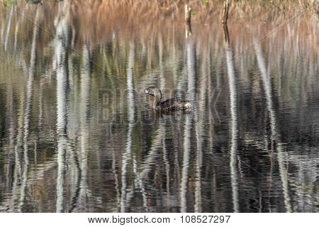 Pie Billed Grebe With Autumn Reflections