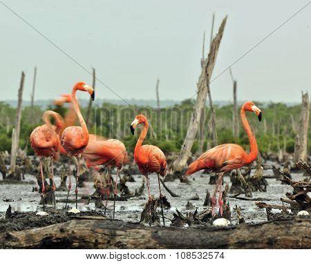Caribbean Flamingos (phoenicopterus Ruber Ruber)