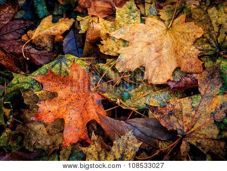nice autumn abstract background with maple leafage