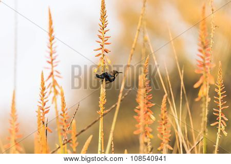Male Purple sunbird perched on wild flower stem to collect nectar