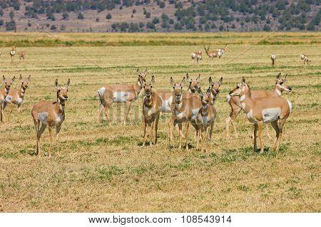 Herd of wild North American Pronghorn