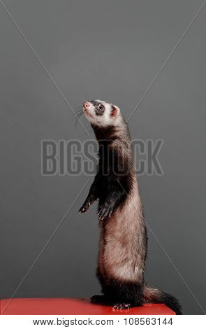 Young ferret standing and looking to side on a gray background in the studio.