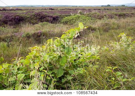 Japanese Knotweed In An Irish Bog