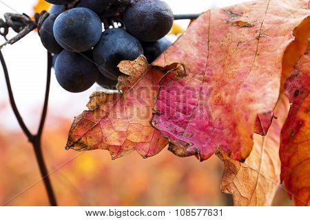 Grape Closeup In Autumn With Red Leaves