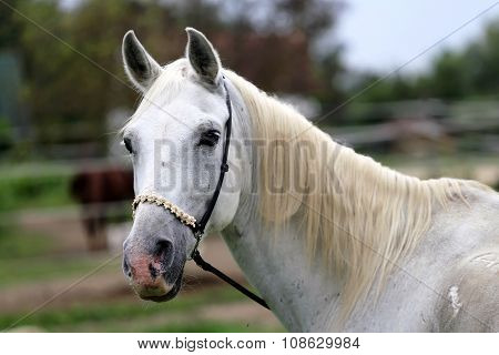 Beautiful Head Shot Of An Arabian Horse At Ranch