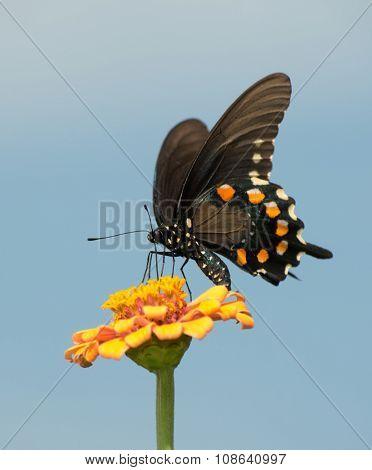 Beautiful Green Swallowtail butterfly feeding on an orange Zinnia