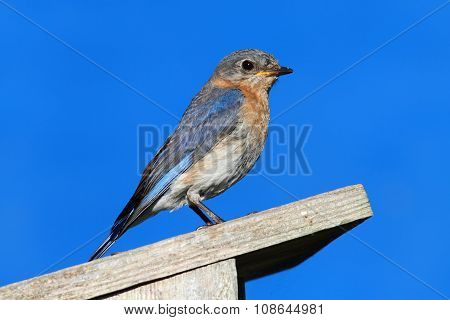 Eastern Bluebird On A Nestbox