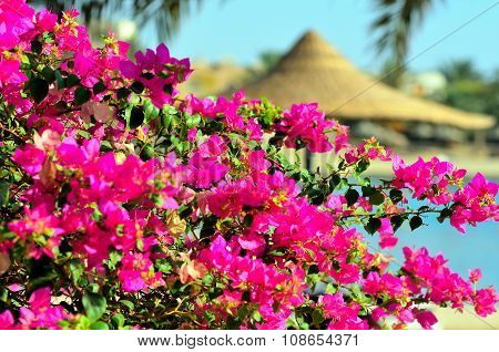 bougainvillea in the village