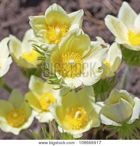 The pasqueflower or sleep-grass (Latin Pulsatilla)