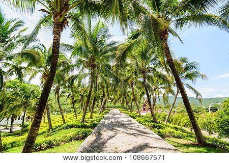 Walkway And Coconut Trees In The Garden