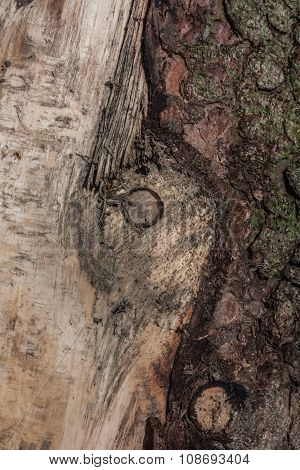 Truncated fragment spruce. Visible traces of the pile, peeled off some bark. poster