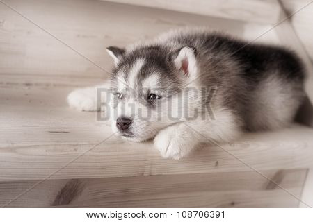 One puppy dog of siberian husky breed  on wooden floor