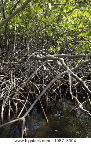France mangrove swamp in Caravelle peninsula in Martinique poster