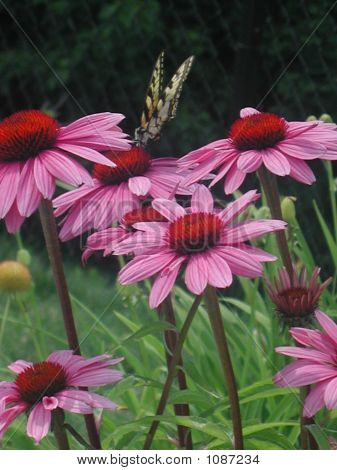 Butterfly And Pink Coneflowers