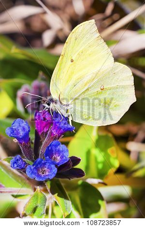 Daily Limonite butterfly (Gonepteryx)