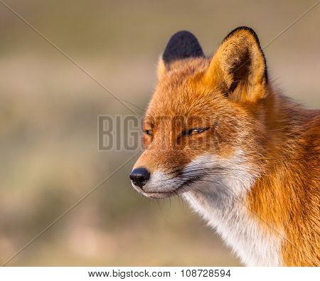 Sleepy Looking Red Fox