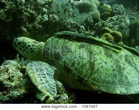 green turtle with attatched remora sipadan in sabah malaysian borneo poster