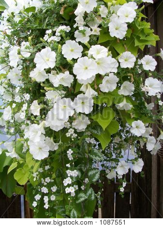 Stock Image Of White Petunia