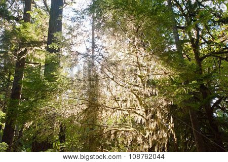 Trees near Lake Crescent in the Olympic Peninsula WA state poster
