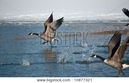 A group of Canada Geese (Branta canadensis) skim the surface of the water on an icy pond as they take off. poster