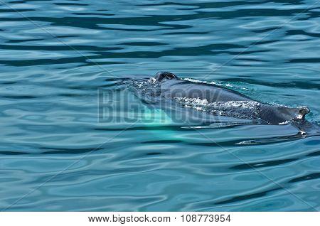 Watching humpback whale at Husavik bay area
