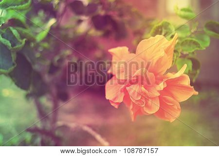 Sweet and Soft Flower Hibiscus mutabilis in vintage color.
