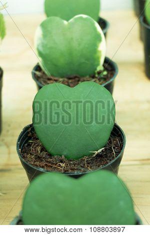 Hoya Or Wax Plant