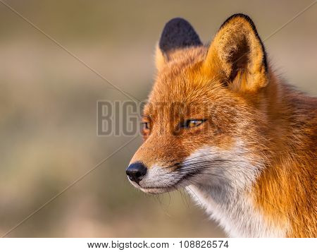 Head Of A Red Fox