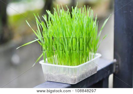 Rice Plant,vase,pot,flower Pot