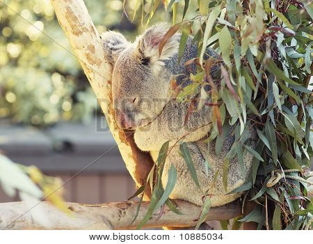 Cute sleeping koala sitting on a eucalyptus tree poster