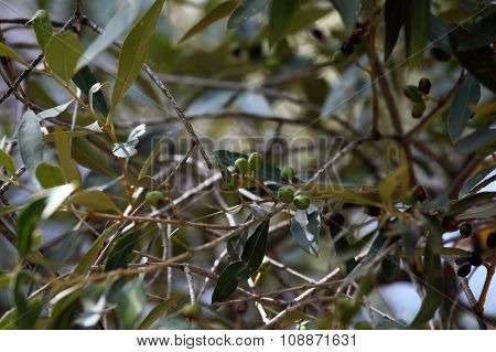 African Olive Tree
