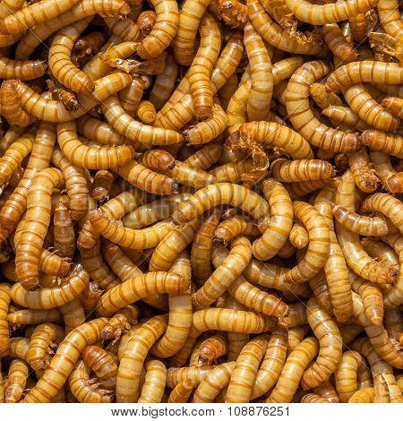 Square Larvae Background