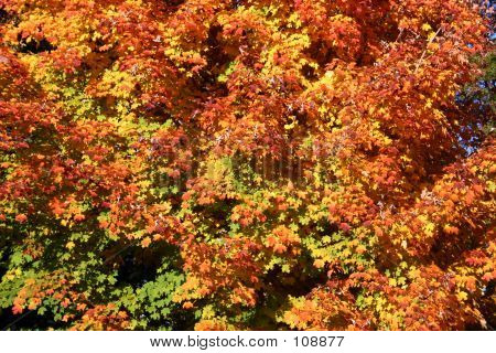 Autumn Fire - Leaves