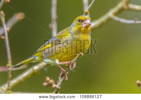 Male Greenfinch On A Twig